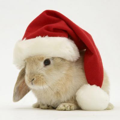 Rabbit Wearing a Father Christmas Hat-Jane Burton-Photographic Print