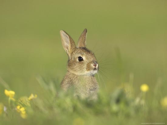 Rabbit, Youngster Emerging from Burrow in Field of Buttercups, Scotland-Mark Hamblin-Photographic Print