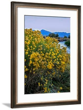Rabbitbrush Blooms Beside the Owens River, a Major Water Supply for the City of Los Angeles-Gordon Wiltsie-Framed Photographic Print
