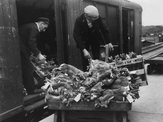 Rabbits for Market--Photographic Print