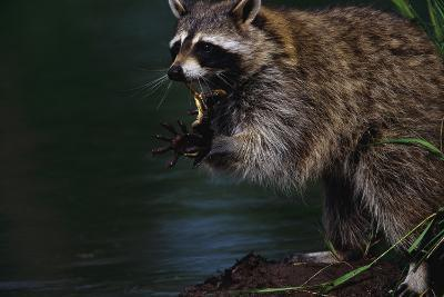 Raccoon Eating a Leopard Frog-W^ Perry Conway-Photographic Print