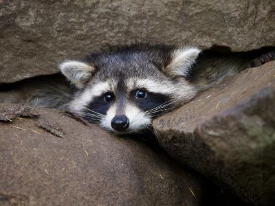 Raccoon Inbetween Rocks--Photographic Print