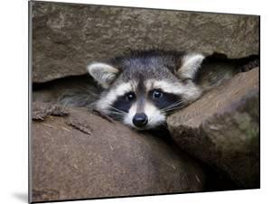 Raccoon Inbetween Rocks