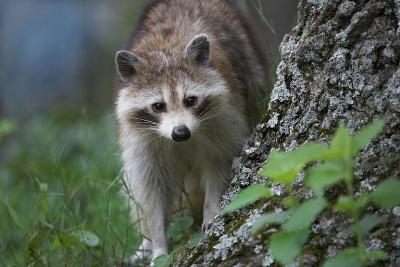 Raccoon Looks at the Camera, Montana, Usa-Tim Fitzharris-Photographic Print