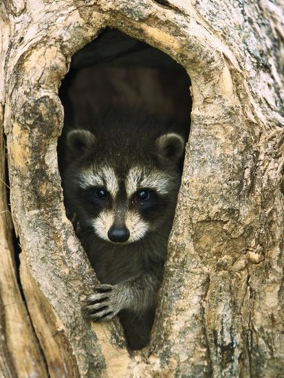 Raccoon (Procyon Lotor) Baby Peering Out from Hole in Tree, North America-Konrad Wothe-Photographic Print