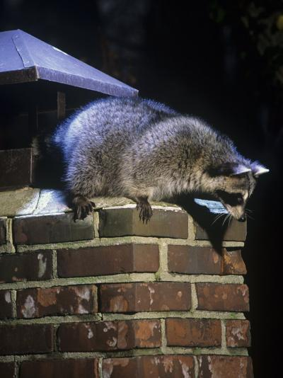Raccoon (Procyon Lotor) Exploring a Chimney on a House, North America-Steve Maslowski-Photographic Print
