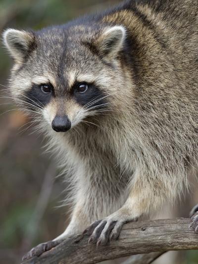 Raccoon, Procyon Lotor, Florida, USA-Maresa Pryor-Photographic Print