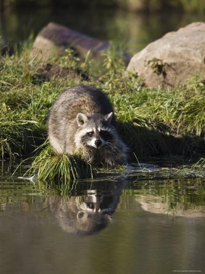 Raccoon (Racoon) (Procyon Lotor) at Waters Edge with Reflection, in Captivity, Minnesota, USA-James Hager-Photographic Print