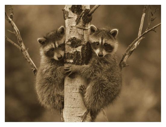 Raccoon two babies climbing tree, North America - Sepia-Tim Fitzharris-Art Print