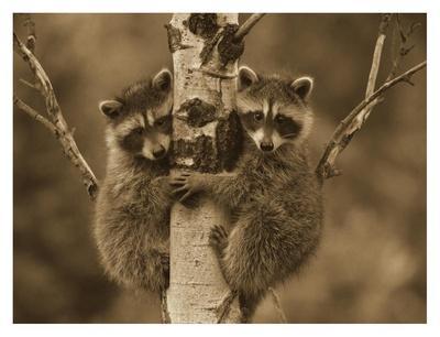 https://imgc.artprintimages.com/img/print/raccoon-two-babies-climbing-tree-north-america-sepia_u-l-f7ich00.jpg?p=0