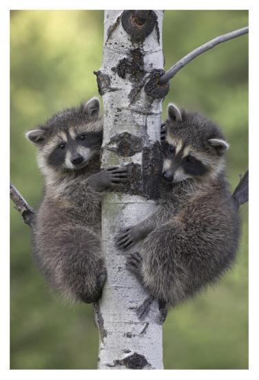 Raccoon two babies climbing tree, North America-Tim Fitzharris-Art Print