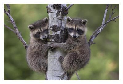 https://imgc.artprintimages.com/img/print/raccoon-two-babies-climbing-tree-north-america_u-l-f7i3y10.jpg?p=0