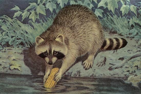 Raccoon Washing Corn--Art Print