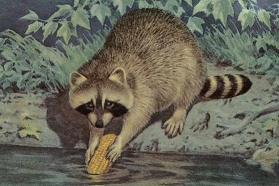 Raccoon Washing Corn