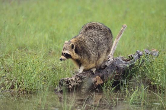 Raccoon-DLILLC-Photographic Print