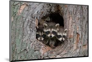 Raccoons Cubs in a Tree Hole
