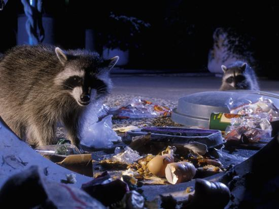 Raccoons (Procyon Lotor) Raiding an Urban Garbage Can in Portland, Oregon-Michael Durham-Photographic Print
