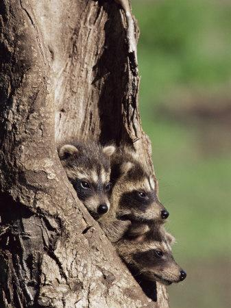 https://imgc.artprintimages.com/img/print/raccoons-racoons-procyon-lotor-41-day-old-young-in-captivity-sandstone-minnesota-usa_u-l-p2ryc70.jpg?p=0