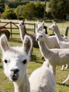 Alpacas on Farm by Rachel Lewis