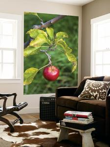 Apple Hanging from Orchard Tree, Huon Valley by Rachel Lewis