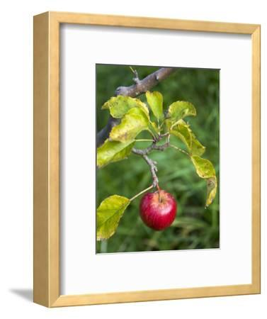 Apple Hanging from Orchard Tree, Huon Valley