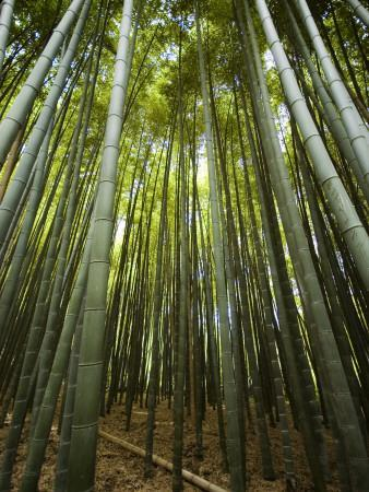Bamboo Forest, Arashiyama District