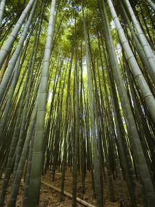 Bamboo Forest, Arashiyama District by Rachel Lewis