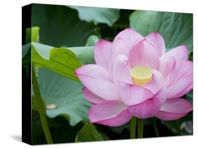 Enormous Lotus Blossom in Shinobazu Pond, Ueno Park