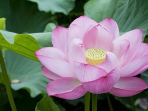 Enormous Lotus Blossom in Shinobazu Pond, Ueno Park by Rachel Lewis