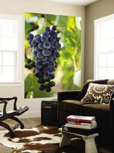 Wine Grapes Hanging from Vine by Rachel Lewis