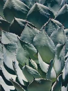 Agave I by Rachel Perry