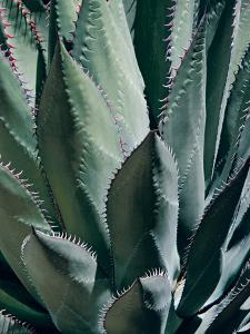 Agave II by Rachel Perry
