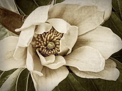 Classic Magnolia I