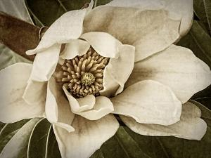 Classic Magnolia I by Rachel Perry
