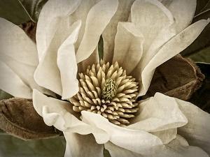 Classic Magnolia II by Rachel Perry