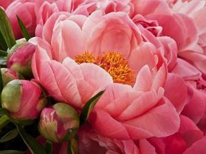 Coral Peonies I by Rachel Perry
