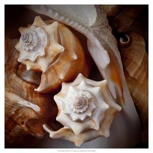 Macro Shells III by Rachel Perry