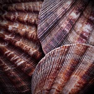 Macro Shells V by Rachel Perry