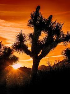 Views of Joshua Tree V by Rachel Perry