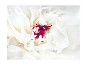 White Linen Peony II by Rachel Perry
