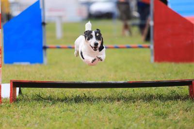 Racing Dog for Agility-francesco de marco-Photographic Print