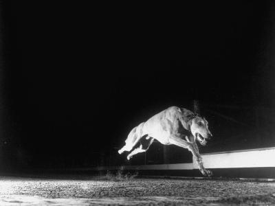 Racing Greyhound Captured at Full Speed by High Speed Camera in Race at Wonderland Park-Gjon Mili-Photographic Print