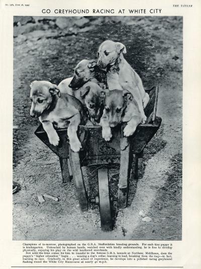 Racing Greyhound Pups in a Barrow--Photographic Print