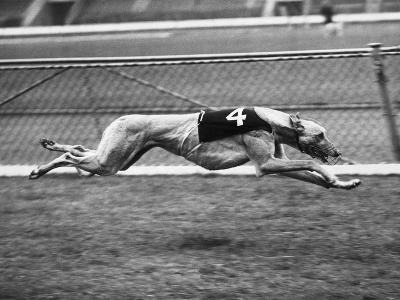 Racing Greyhound Wild Wolf--Photographic Print