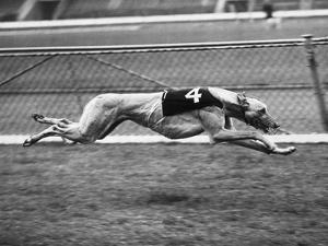 Racing Greyhound Wild Wolf