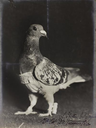 Racing Pigeons Part of the Telegraph Service of the 1st Army--Photographic Print