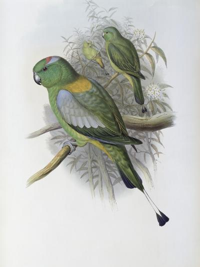 Racket Tailed Parrot-John Gould-Giclee Print