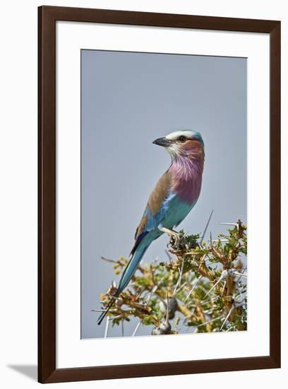 Racket-tailed roller (Coracias spatulata), Selous Game Reserve, Tanzania, East Africa, Africa-James Hager-Framed Photographic Print
