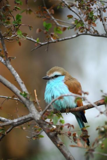 Racket-Tailed Roller-guntherize1-Photographic Print