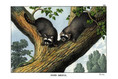 Racoon, 1860--Giclee Print